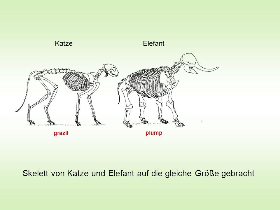 Skelett von Katze und Elefant auf die gleiche Größe gebracht