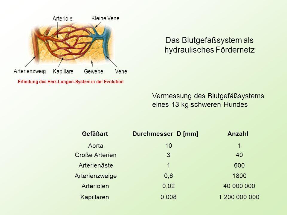 Das Blutgefäßsystem als hydraulisches Fördernetz