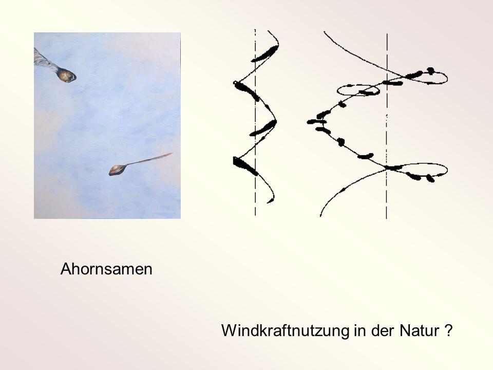 Ahornsamen Windkraftnutzung in der Natur