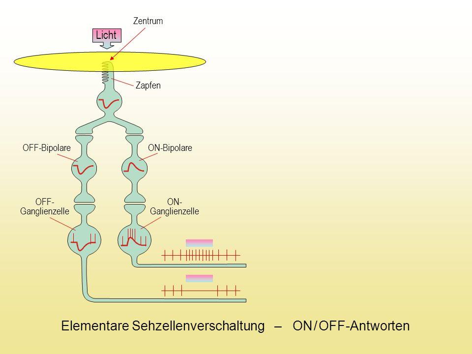 Elementare Sehzellenverschaltung – ON / OFF-Antworten