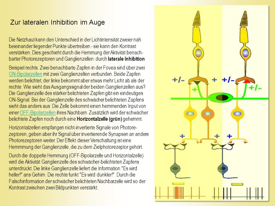 Zur lateralen Inhibition im Auge