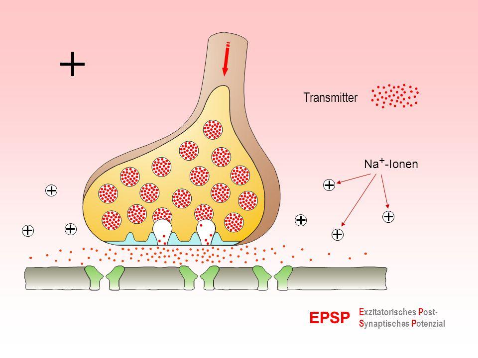 Transmitter Na+-Ionen EPSP Exzitatorisches Post-Synaptisches Potenzial