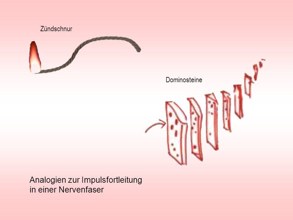 Analogien zur Impulsfortleitung in einer Nervenfaser