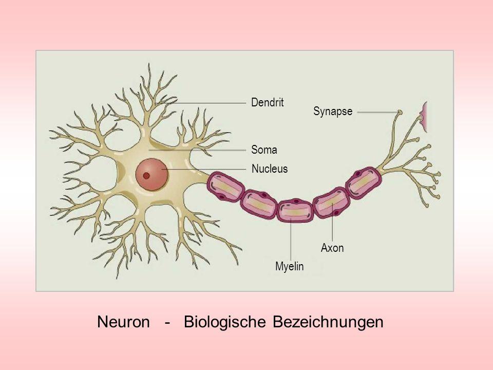 Neuron - Biologische Bezeichnungen