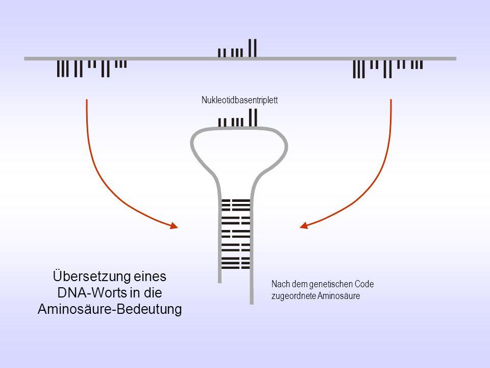 Übersetzung eines DNA-Worts in die Aminosäure-Bedeutung