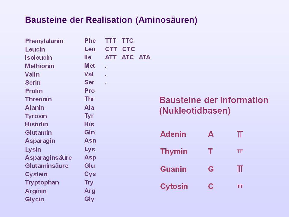 Bausteine der Realisation (Aminosäuren)