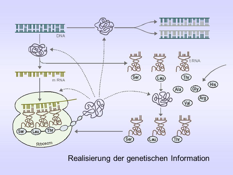 Realisierung der genetischen Information
