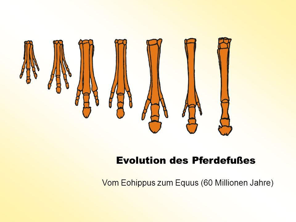Evolution des Pferdefußes