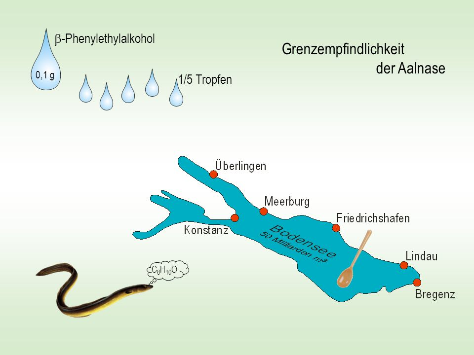 Grenzempfindlichkeit der Aalnase