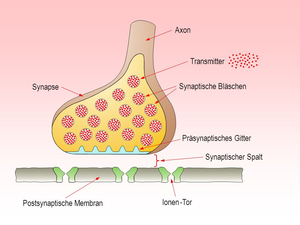 AxonTransmitter. Synapse. Synaptische Bläschen. Präsynaptisches Gitter. Synaptischer Spalt. Postsynaptische Membran.