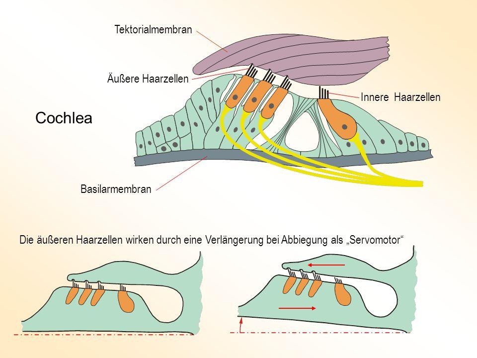 Cochlea Tektorialmembran Äußere Haarzellen Innere Haarzellen