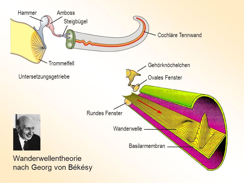 Wanderwellentheorie nach Georg von Békésy