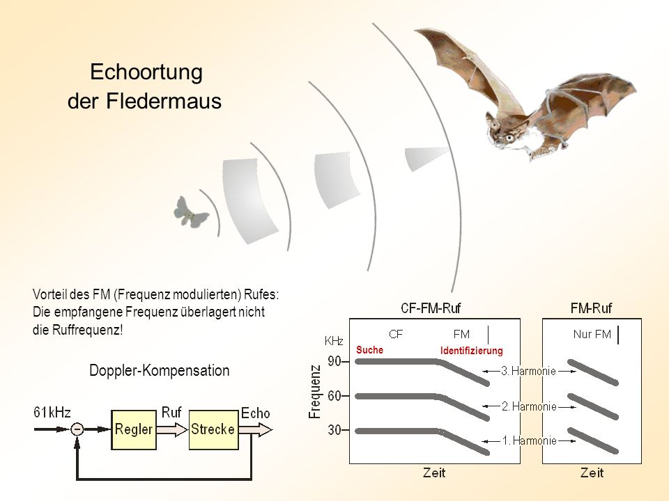 Echoortung der Fledermaus Doppler-Kompensation