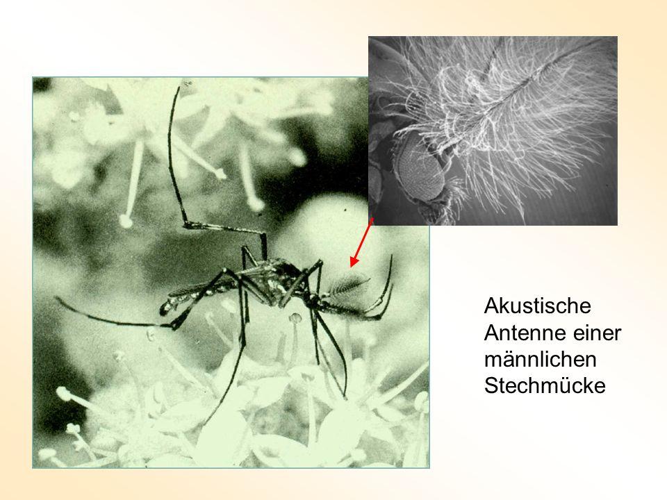 Akustische Antenne einer männlichen Stechmücke