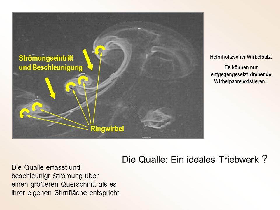 Die Qualle: Ein ideales Triebwerk