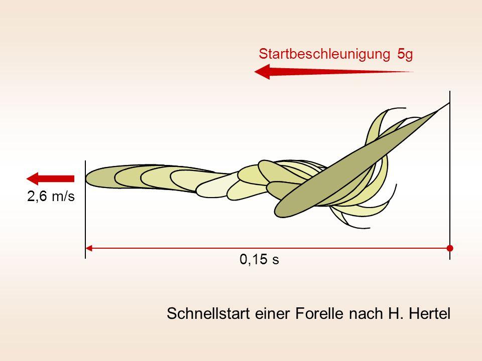 Schnellstart einer Forelle nach H. Hertel