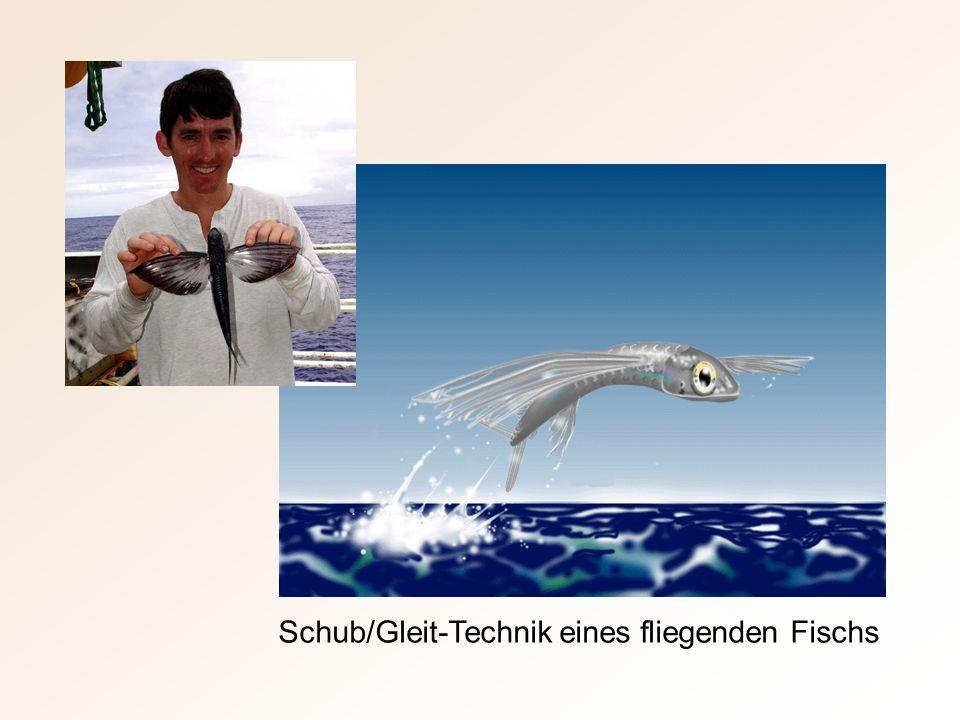 Schub/Gleit-Technik eines fliegenden Fischs