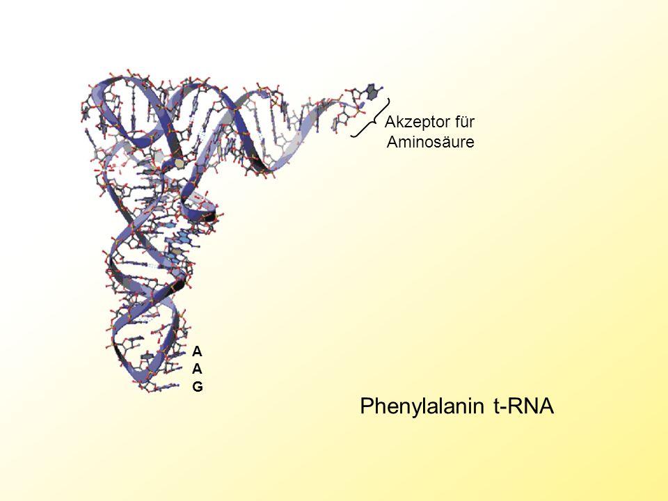 Akzeptor für Aminosäure