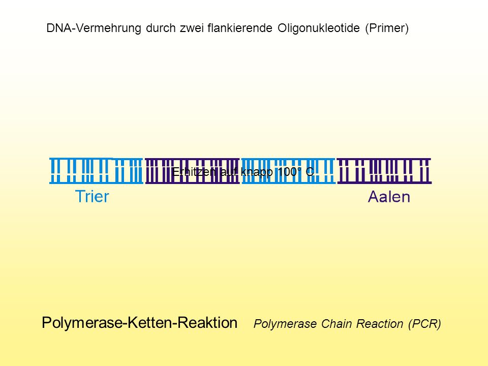 Polymerase-Ketten-Reaktion Polymerase Chain Reaction (PCR)