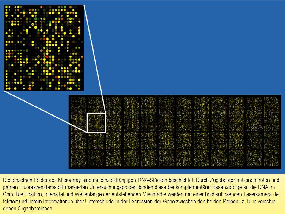 Die einzelnen Felder des Microarray sind mit einzelsträngigen DNA-Stücken beschichtet.