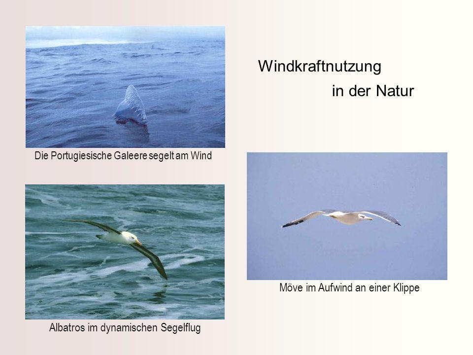 Windkraftnutzung in der Natur Möve im Aufwind an einer Klippe