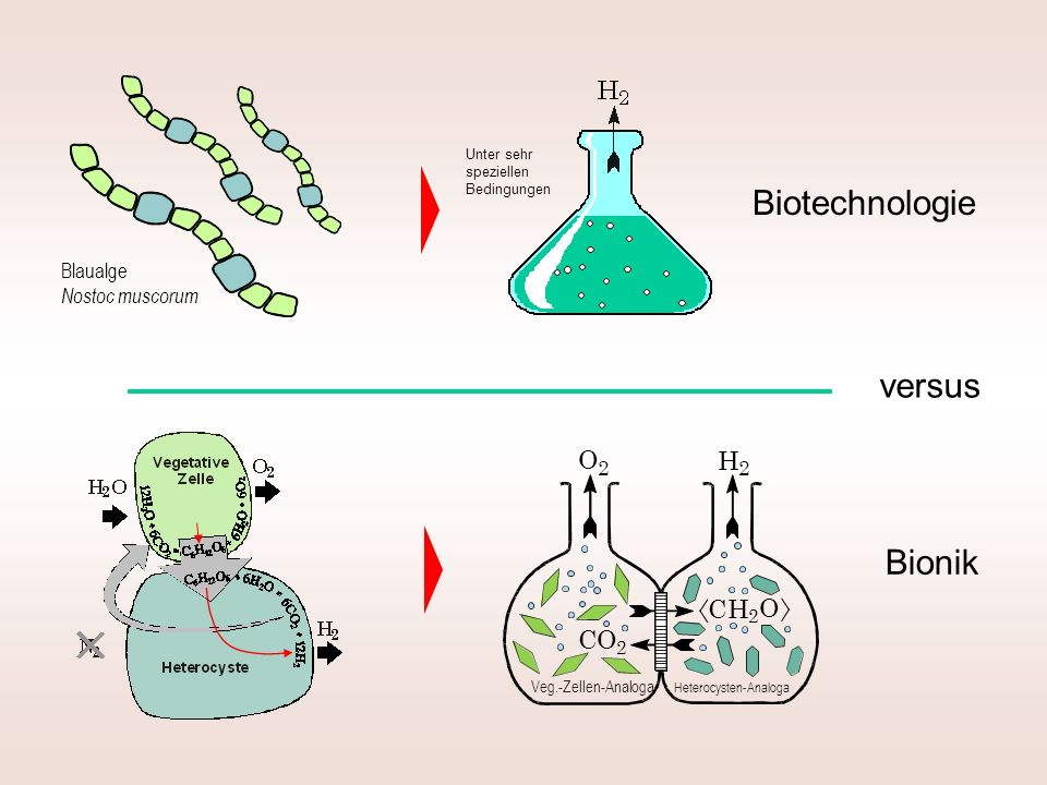 Biotechnologie versus Bionik CO C H O Blaualge Nostoc muscorum 2
