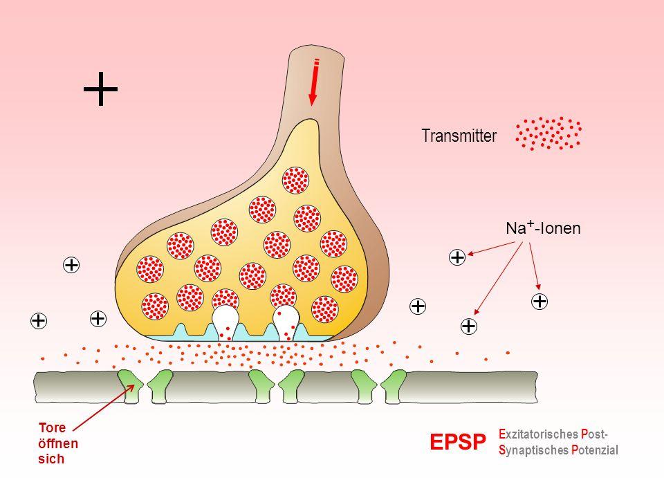 EPSP Transmitter Na+-Ionen Tore öffnen sich