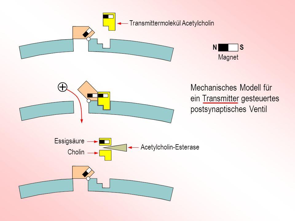 Transmittermolekül Acetylcholin