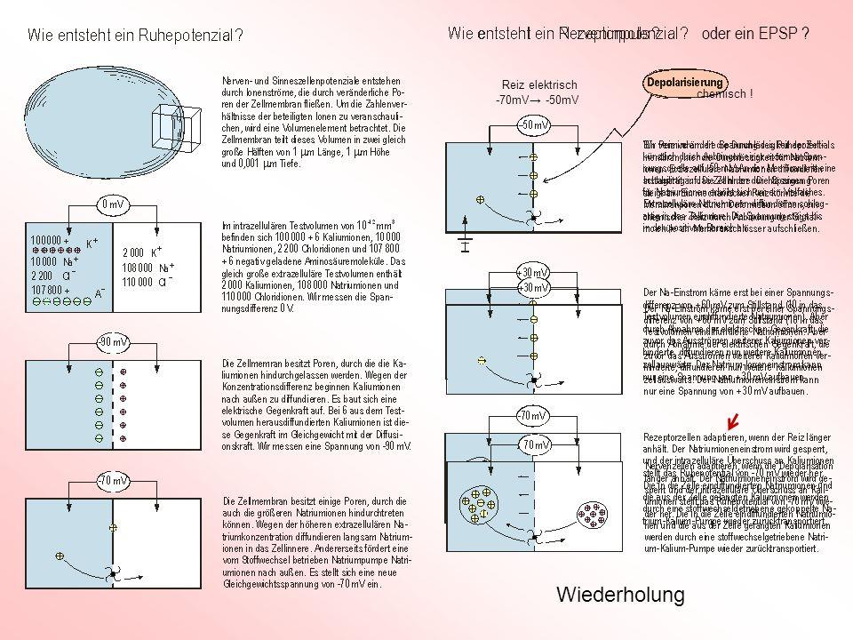 oder ein EPSP Reiz elektrisch chemisch ! -70mV→ -50mV Wiederholung