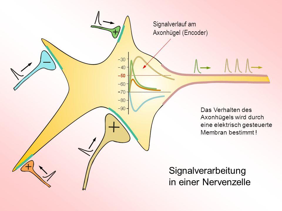 Signalverarbeitung in einer Nervenzelle