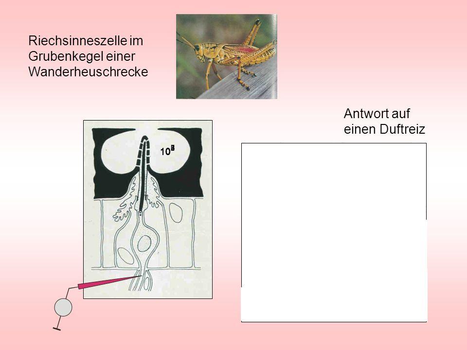 Riechsinneszelle im Grubenkegel einer Wanderheuschrecke