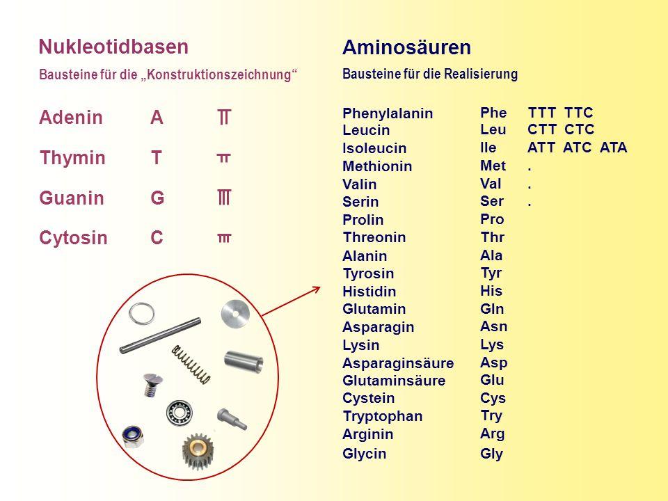 Nukleotidbasen Aminosäuren Adenin Thymin Guanin Cytosin A T G C