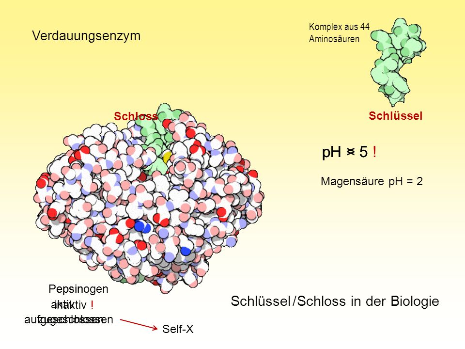 pH < 5 pH > 5 ! Schlüssel / Schloss in der Biologie