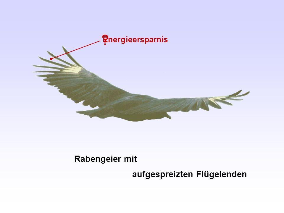 Energieersparnis Rabengeier mit aufgespreizten Flügelenden