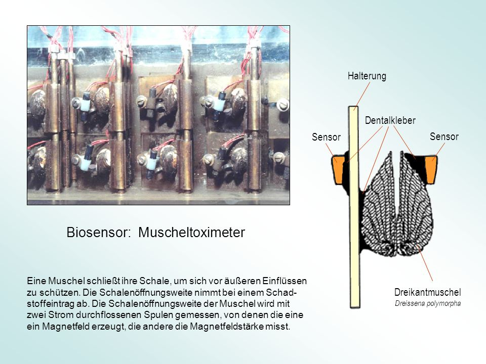 Biosensor: Muscheltoximeter