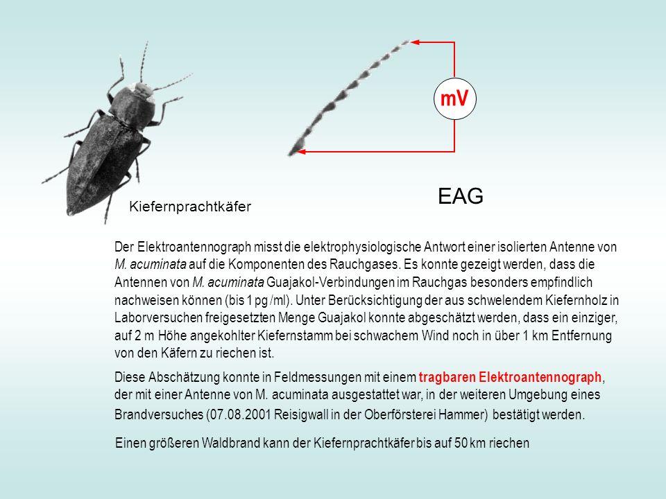 mV EAG Kiefernprachtkäfer