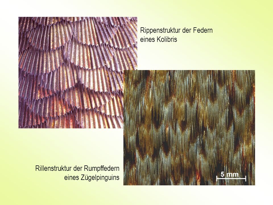 Rippenstruktur der Federn