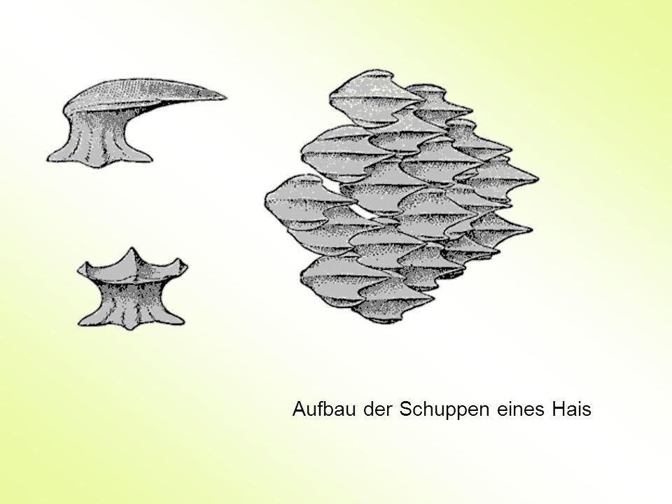 Aufbau der Schuppen eines Hais