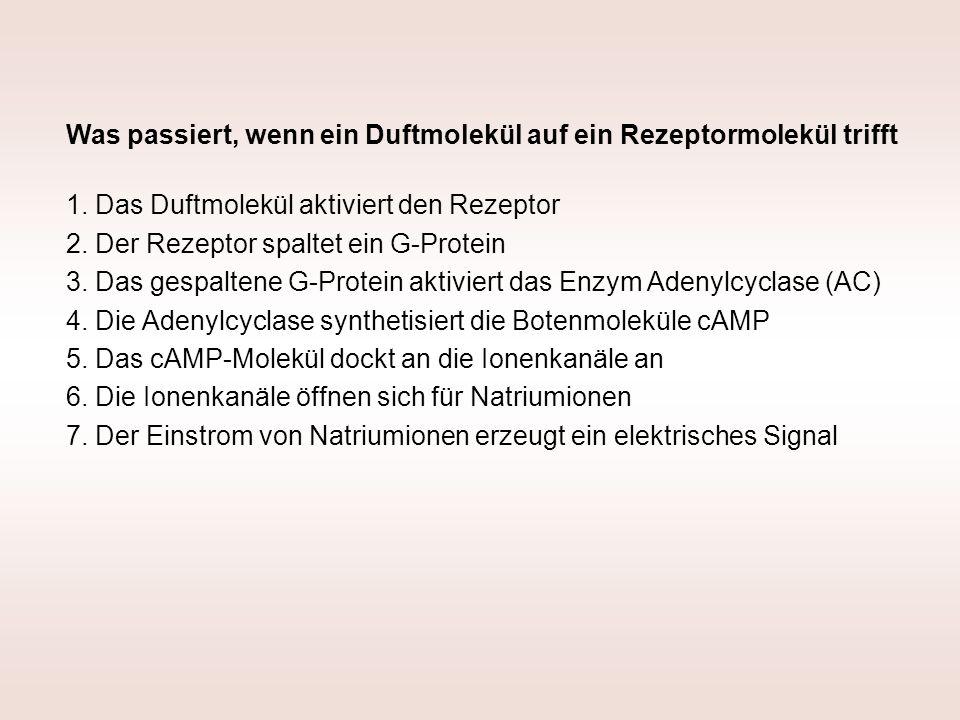 Was passiert, wenn ein Duftmolekül auf ein Rezeptormolekül trifft