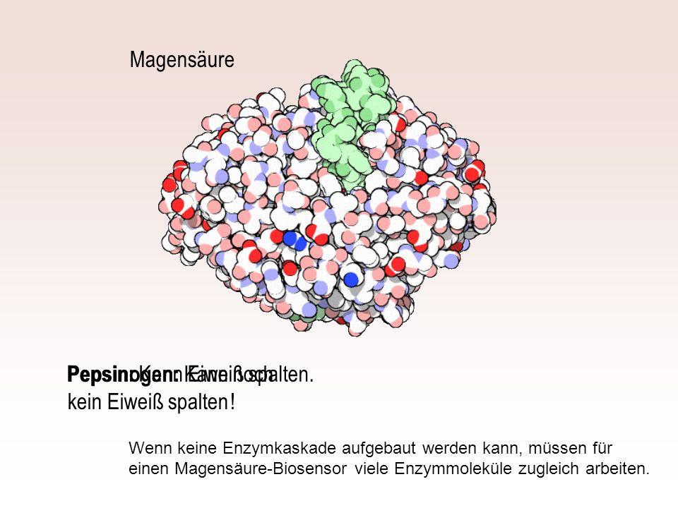Pepsinogen: Kann noch kein Eiweiß spalten !