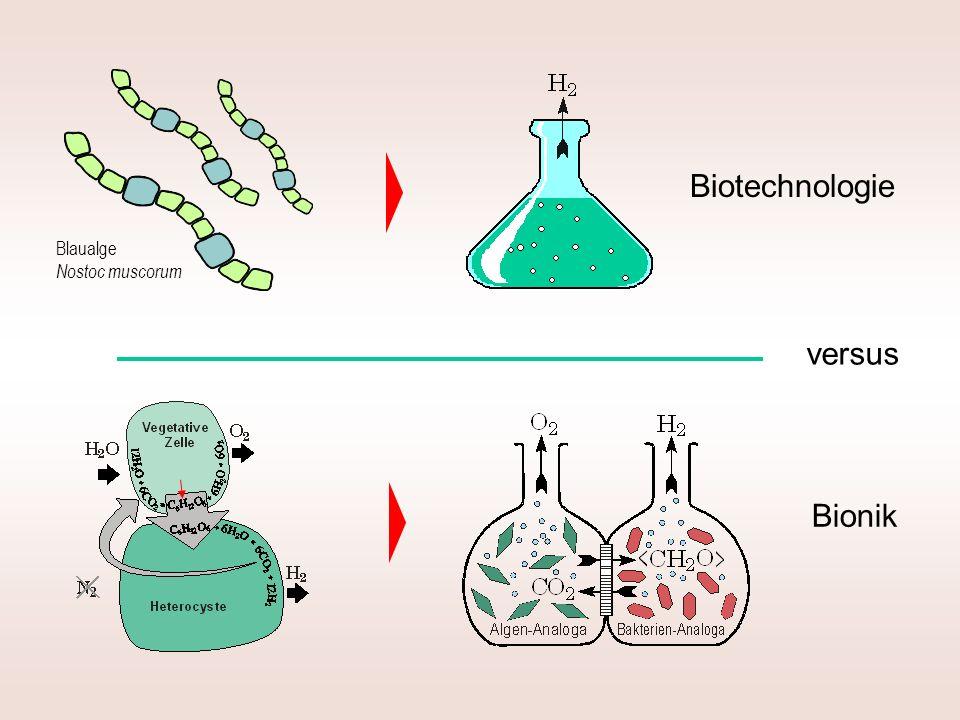 Blaualge Nostoc muscorum Biotechnologie versus Bionik