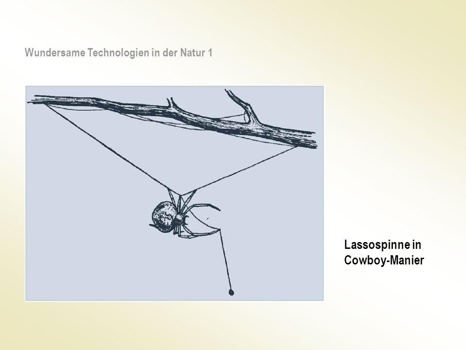 Lassospinne in Cowboy-Manier