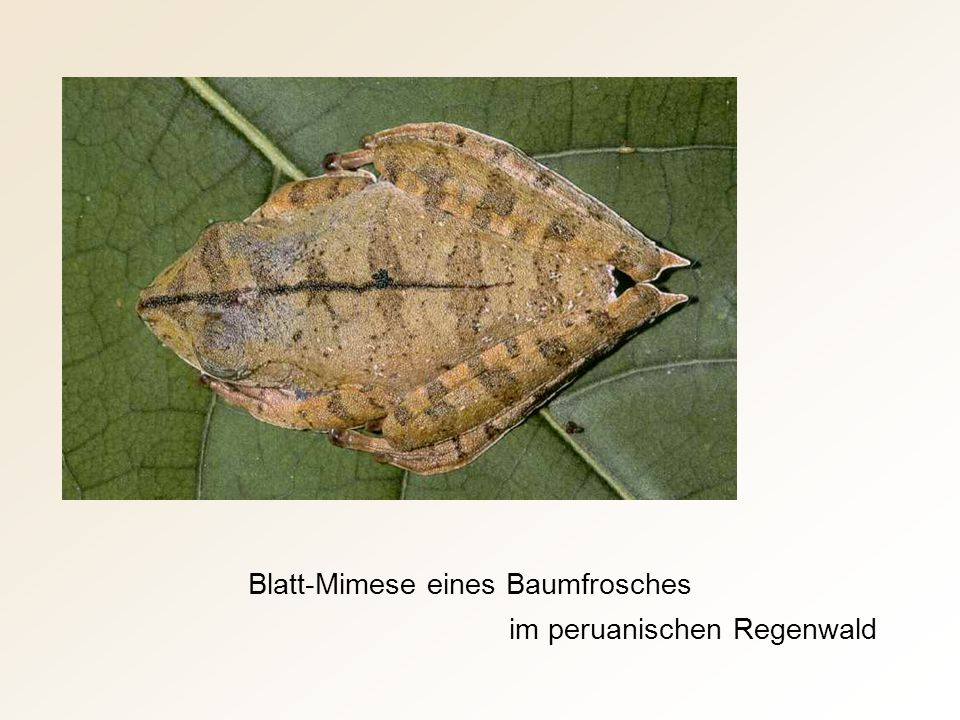 Blatt-Mimese eines Baumfrosches
