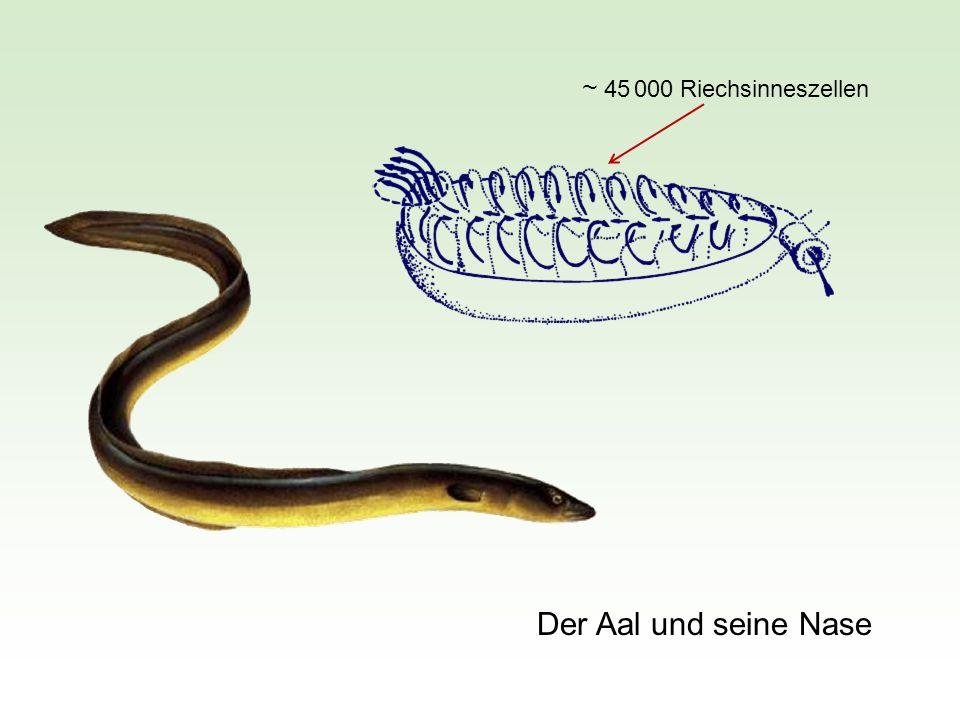 ~ 45 000 Riechsinneszellen Der Aal und seine Nase