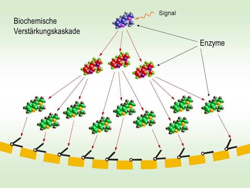 Biochemische Verstärkungskaskade