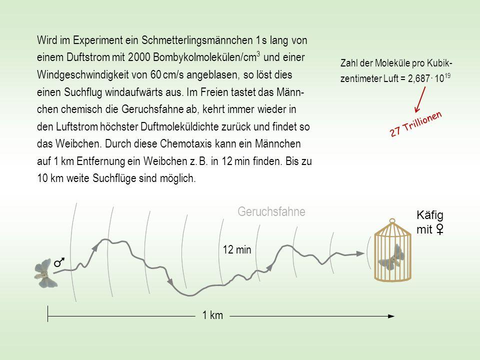 Wird im Experiment ein Schmetterlingsmännchen 1 s lang von einem Duftstrom mit 2 000 Bombykolmolekülen/cm3 und einer Windgeschwindigkeit von 60 cm/s angeblasen, so löst dies einen Suchflug windaufwärts aus. Im Freien tastet das Männ-chen chemisch die Geruchsfahne ab, kehrt immer wieder in den Luftstrom höchster Duftmoleküldichte zurück und findet so das Weibchen. Durch diese Chemotaxis kann ein Männchen auf 1 km Entfernung ein Weibchen z. B. in 12 min finden. Bis zu 10 km weite Suchflüge sind möglich.