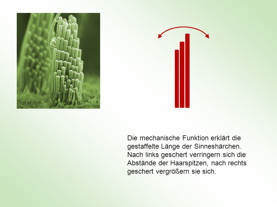 Die mechanische Funktion erklärt die gestaffelte Länge der Sinneshärchen.
