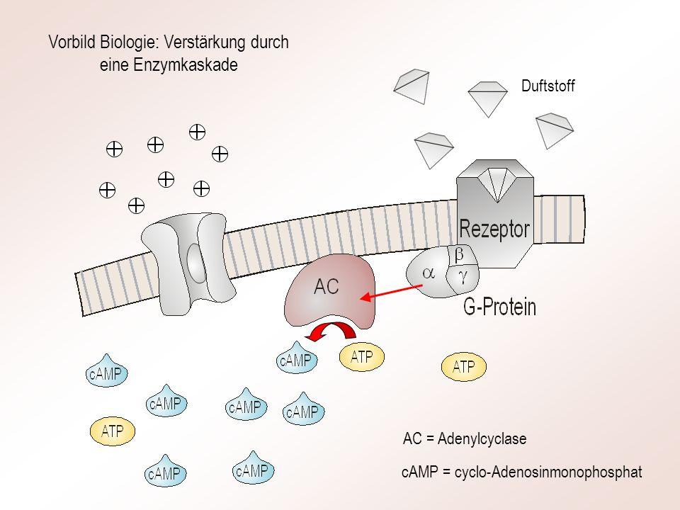 Vorbild Biologie: Verstärkung durch eine Enzymkaskade