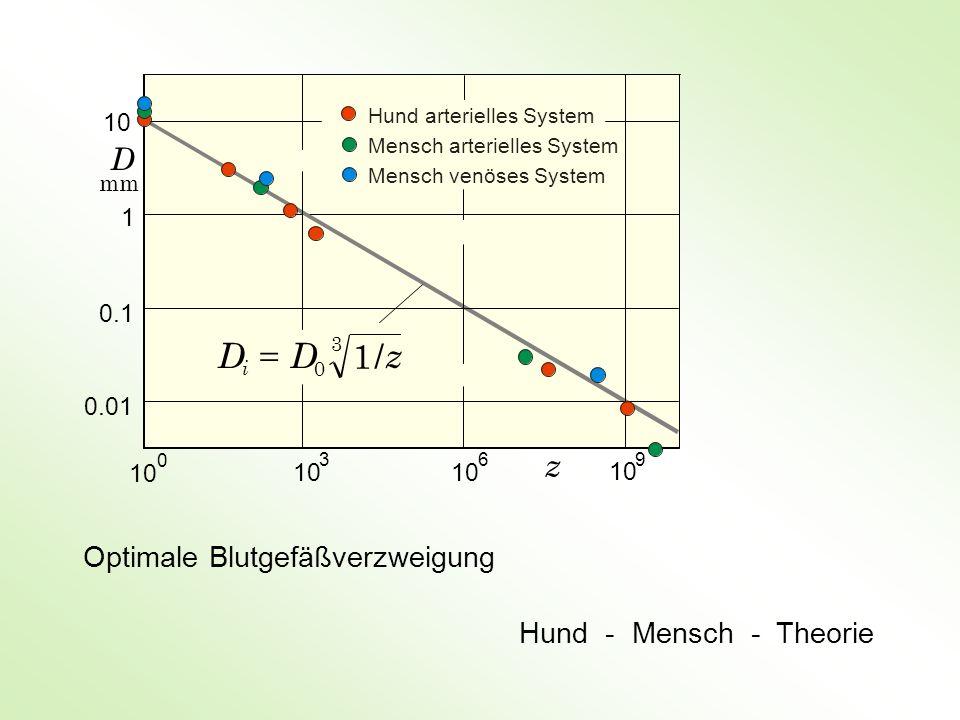 D = D 1 / z z D Optimale Blutgefäßverzweigung Hund - Mensch - Theorie