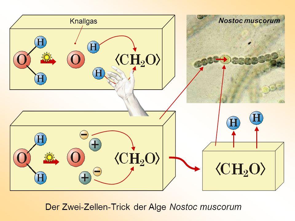 Der Zwei-Zellen-Trick der Alge Nostoc muscorum